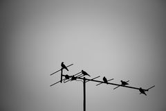 Abstract doves perching on tv antenna.  black and white tone. Stock Photography