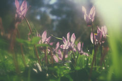 Abstract dreamy and blurred image of cyclamen flowers blooming in the forest. vintage filtered and toned stock photo