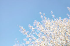 Abstract dreamy and blurred image of spring white cherry blossoms tree. selective focus Royalty Free Stock Images