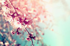 Abstract dreamy and blurred image of spring white cherry blossoms tree. selective focus. vintage filtered Royalty Free Stock Photography