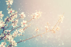 Abstract dreamy and blurred image of spring white cherry blossoms tree. selective focus. vintage filtered Royalty Free Stock Photos