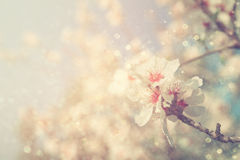 Abstract dreamy and blurred image of spring white cherry blossoms tree. selective focus. vintage filtered Royalty Free Stock Image