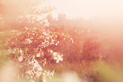 Abstract dreamy and blurred image of spring white cherry blossoms tree. selective focus. vintage filtered Stock Images