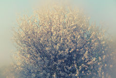 Abstract dreamy and blurred image of spring white cherry blossoms tree. selective focus. vintage filtered Stock Image