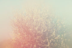 Abstract dreamy and blurred image of spring white cherry blossoms tree. selective focus. vintage filtered Stock Photos