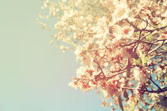 Abstract dreamy and blurred image of spring white cherry blossoms tree. selective focus. vintage filtered and toned Stock Images