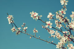 Abstract dreamy image of spring white cherry blossoms tree. selective focus. vintage filtered Stock Images