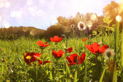 Abstract and dreamy photo with low angle of red poppies against sky with light burst. vintage filtered and toned Stock Photography