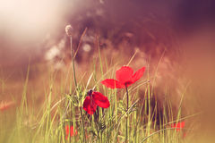 Abstract and dreamy photo with low angle of red poppies against sky with light burst. vintage filtered and toned Royalty Free Stock Images