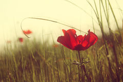 Abstract and dreamy photo with low angle of red poppies against sky with light burst. vintage filtered and toned. With glitter overlay royalty free stock photos