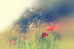 Abstract and dreamy photo with low angle of red poppies against sky with light burst. vintage filtered and toned Stock Photos