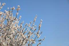 Abstract dromerig beeld van de bloesemsboom van de de lente witte kers Selectieve nadruk Gefiltreerde wijnoogst Royalty-vrije Stock Afbeelding