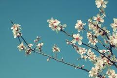 Abstract dromerig beeld van de bloesemsboom van de de lente witte kers Selectieve nadruk Gefiltreerde wijnoogst Stock Afbeeldingen