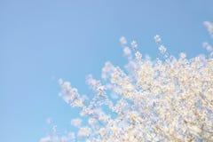 Abstract dromerig en vaag beeld van de bloesemsboom van de de lente witte kers Selectieve nadruk Royalty-vrije Stock Afbeeldingen