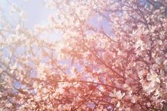 Abstract dromerig en vaag beeld van de bloesemsboom van de de lente witte kers Selectieve nadruk gefiltreerd en gestemde wijnoogs Royalty-vrije Stock Foto's