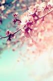 Abstract dromerig en vaag beeld van de bloesemsboom van de de lente witte kers Selectieve nadruk Gefiltreerde wijnoogst Royalty-vrije Stock Foto's