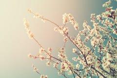 Abstract dromerig en vaag beeld van de bloesemsboom van de de lente witte kers Selectieve nadruk Gefiltreerde wijnoogst Stock Fotografie
