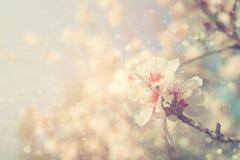 Abstract dromerig en vaag beeld van de bloesemsboom van de de lente witte kers Selectieve nadruk Gefiltreerde wijnoogst Royalty-vrije Stock Afbeelding