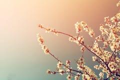 Abstract dromerig en vaag beeld van de bloesemsboom van de de lente witte kers Selectieve nadruk Gefiltreerde wijnoogst Stock Afbeeldingen