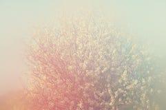 Abstract dromerig en vaag beeld van de bloesemsboom van de de lente witte kers Selectieve nadruk Gefiltreerde wijnoogst Stock Foto's