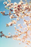 Abstract dromerig en vaag beeld van de bloesemsboom van de de lente witte kers Selectieve nadruk Gefiltreerde wijnoogst Royalty-vrije Stock Fotografie