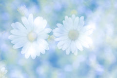 Abstract dubbel blootstellingsbeeld met vage madeliefjebloemen op nationaal Stock Afbeeldingen