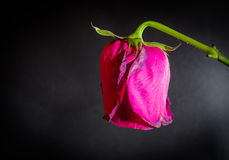 Abstract Dying Rose. Side shot of a single pink dying rose on a black blank background Royalty Free Stock Photos