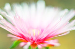 Abstract explosion of pink color & light flower. An abstract almost fantasy type blurred image of a 'Pig Face' common name bloom from the cactus family. It has Royalty Free Stock Image