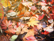Abstract fall autumn leave in Japan Stock Image