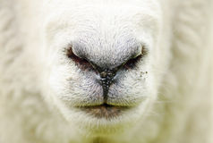 Abstract farm sheep closeup face nose mouth background Royalty Free Stock Image