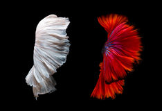 Abstract fine art of moving fish tail of Betta fish Stock Images