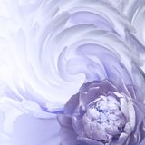 Abstract floral background. A flower of a white-violet peony on a background of twisted petals. Greeting card. stock image