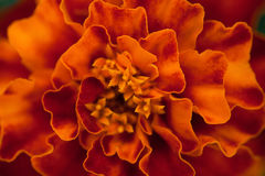 Abstract floral background. Marigold flower macro. Royalty Free Stock Images