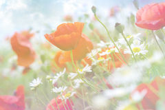 Abstract floral background with poppies Royalty Free Stock Photo