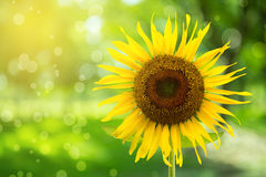 Abstract floral background with sunflower in the garden Royalty Free Stock Images