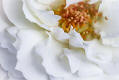 Free Abstract Floral Background, White Rose Flower Petals. Macro Flowers Backdrop For Holiday Design. Soft Focus Royalty Free Stock Photography - 194926527