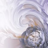 Abstract floral blue-white-purple background. A flower of a light blue peony on a background of twisted petals. Greeting card. Nature stock photos