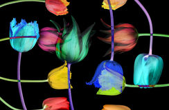 Abstract flower background. Tulips. Abstract color flower on balsck background. Tulips Stock Photos