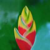 Abstract flower. Abstract close up shot of bright red and yellow Heliconia Rostrato flower looking like a sweet lollipop or yummy ice cream Stock Photo