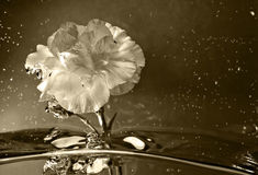 Abstract Flower dipped in water. converted to Sepia. A carnation dipped in water Stock Photos