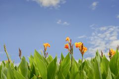 Abstract flower ,Flower of Canna indica royalty free stock photo