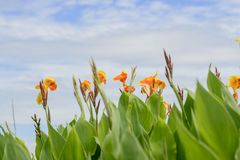 Abstract flower ,Flower of Canna indica royalty free stock images