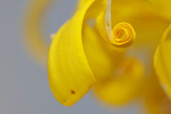 Abstract flower - plantain leopardbane Royalty Free Stock Photo