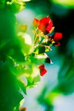 Abstract flowers. Red flowers and green foliage with shallow depth of field royalty free stock photography