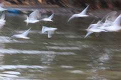 Abstract Flying white gulls along the river stock photo