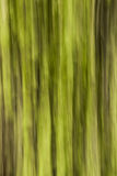 Abstract forest. Picture of a forest during summertime that was taken with a camera movement to give it an abstract look Royalty Free Stock Photos