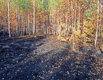 Abstract forest after fire, stress, environment, Royalty Free Stock Photography