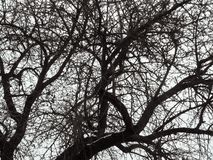 Abstract geometric natural pattern of tree crown on a white sky backdrop. Black lines of branches randomly intertwined on a white stock photo