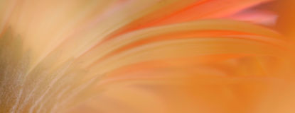 Abstract of Gerbera Daisy Royalty Free Stock Photo