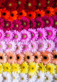Abstract gerbera flower rainbow background Stock Photography
